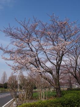 sakura_2016_02.jpg